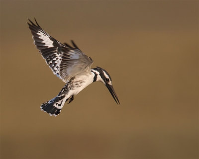 Pied Kingfisher, hovering, Victoria Falls