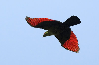 Shalow's Turaco in flight, near Victoria Falls