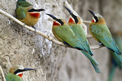 White fronted bee-eaters, Livingstone